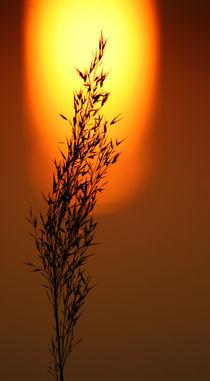Sonnengras by Jana Behr