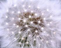 Dandelion, Pusteblume