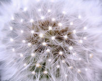 Dandelion, Pusteblume by Martina Ebel