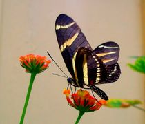 Butterfly by Tasmin Jade