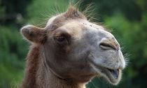 Kamel by buellom