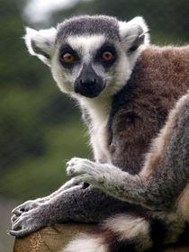 Lemur von Charlotte Fenner