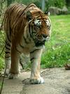 Tiger-pic-3