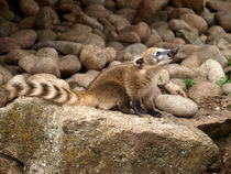 Ring-tailed-coatie