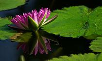 Water Lily No. 1114 von Roger Brandt