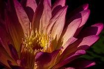 Water Lily No. 1117 von Roger Brandt