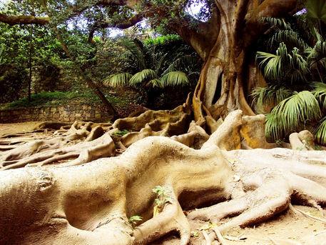 Rubber-tree