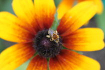 Pollinating  by Carrie Penrod