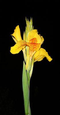 gelbe Schönheit by theresa-digitalkunst