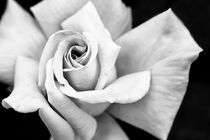Rose in B&W by Philip Cozzolino