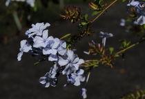 Blauer Blütenstand