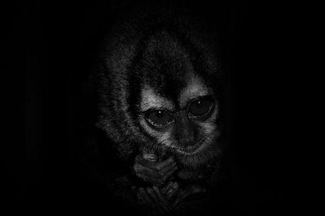 Night-monkey-b-w-lucis