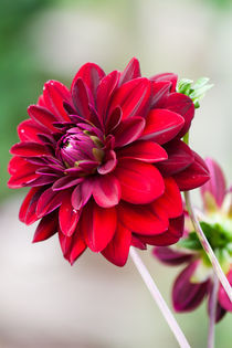 Red Dahlia by Michael Krause