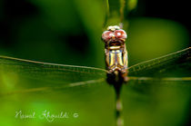 Dragonfly by Nawal Khouildi