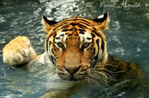 Sumatran Tiger von Nawal Khouildi
