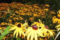 Strohblumen auf dem Feld von Thomas Peter