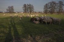 Schafe auf der Wiese von Miloslava Habermehl