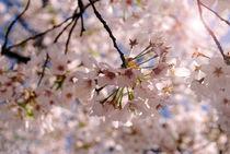 Focused Cherry Blossom by Meghan Salmeri