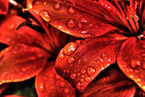 Red Lily by Meghan Salmeri