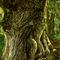 Oak-father
