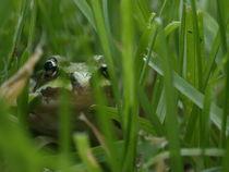 Frog in the grass von Peter Hoetmer