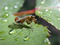 Scorpion fly by Peter Hoetmer