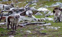 polar foxes by Peter Hoetmer