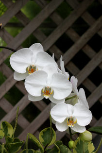 White Orchid by Tahani Waheeb