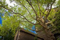 Meißen - Ahornbaum von Peter Zimolong