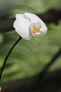 Beautiful Orchid by Tahani Waheeb