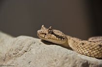 Rattlesnake von Iris Aleit