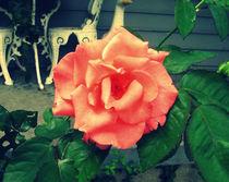 Vintage-rose-2