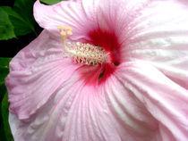 Pink-hibiscus-2