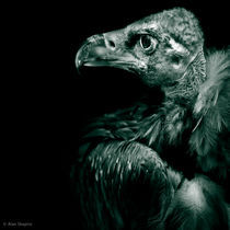 Andean Condor Profile in monochrome by Alan Shapiro