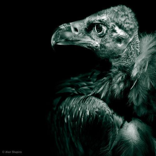 Andean-condor-profile-in-monochrome