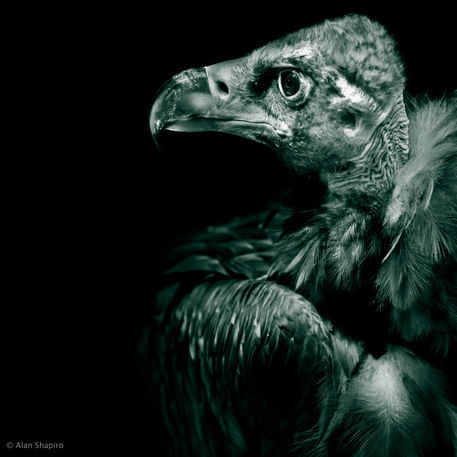 Andean-condor-profile-in-monochrome