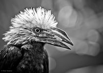My nemesis, the White Crested Hornbill by Alan Shapiro