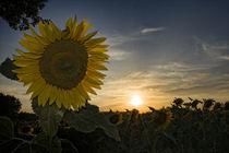 Ok-girasoli-sunset-0063