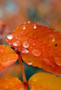 Raindrops and Orange von Amos Edana