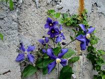 Clematis Flowers by Mirela Oprea