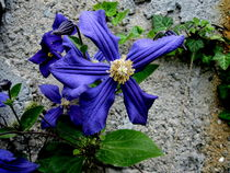 Clematis by Mirela Oprea