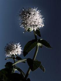 Blüte im letzten Sonnenlicht von Elke Balzen