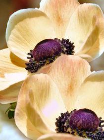 Anemonenblüten von Ingrid Clement-Grimmer