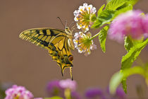 Spanish Butterfly by pahit