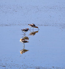 Avocets in Great Salt Lake von Louise Heusinkveld