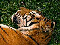 Tiger by Fernando Cesar