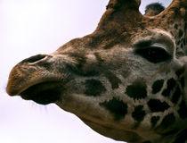 Giraffe by Fernando Cesar