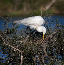 Great Egret on Nest by Louise Heusinkveld