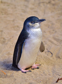 Little Penguin by Louise Heusinkveld