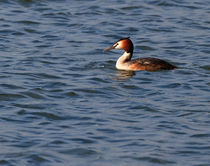 Great Crested Grebe by Louise Heusinkveld